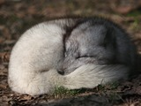 Arctic Fox Polar Picture sleeping Vulpes lagopus