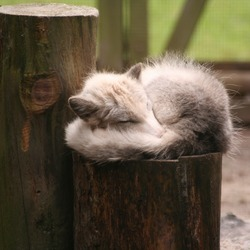 Arctic Fox Polar Picture sleeping pup cub