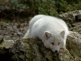 Arctic Fox Polar Picture sleeping white