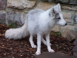 Arctic Fox Polar Picture snow photo