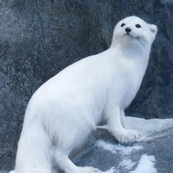 Arctic Fox Polar Picture snow white curious