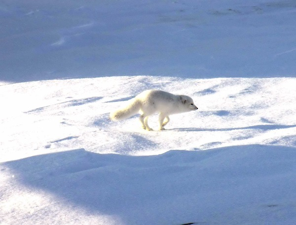 Arctic Fox Polar Picture snow white hunting