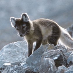 Arctic Fox Polar Picture summer cub pup