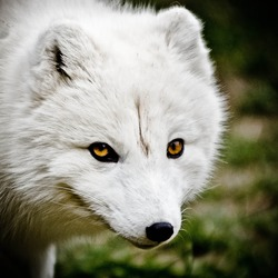 Arctic Fox Polar Picture white mean eyes