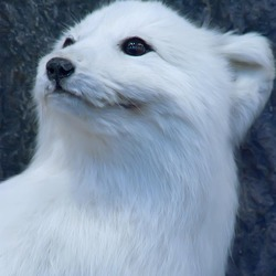 Arctic Fox Polar Picture white portrait (2)