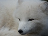 Arctic Fox Polar Picture white portrait