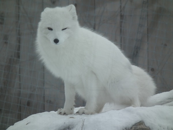 Arctic Fox Polar Picture white snow Vulpes lagopus