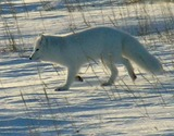 Arctic Fox Photo Gallery