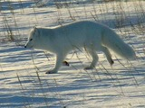 Arctic Fox Polar Picture wild white snow