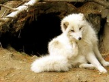 Arctic Fox Polar Picture zoo Arctic fox