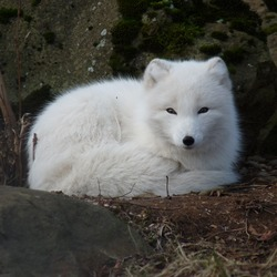 White Arctic Fox Polar Picture Vulpes lagopus