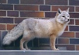 Corsac Fox Photo Gallery