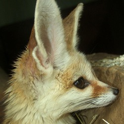 Fennec Fox cute big ear profile