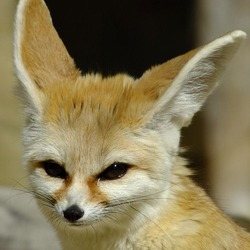 Fennec Fox cute ear Vulpes zerda