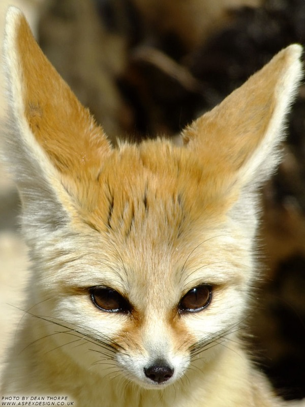 Fennec Fox cute ear face
