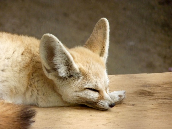 Fennec Fox cute ear sleeping Vulpes zerda