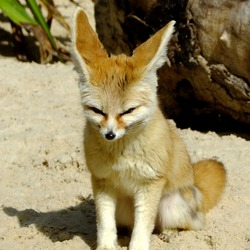 Fennec Fox cute ear