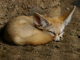 Fennec Fox cute ears Fennecus dormiens
