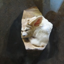 Fennec Fox cute ears Fennecus iacens