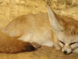 Fennec Fox cute ears TA zoo Animal