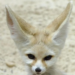 Fennec Fox cute ears Vulpes zelda