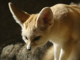 Fennec Fox cute ears Vulpes zerda (2)