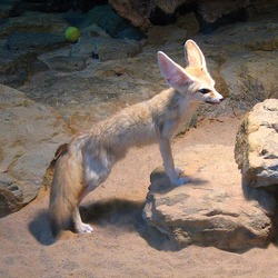 Fennec Fox cute ears Vulpes zerda Wilhelma Zoo