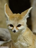 Fennec Fox cute ears Vulpes zerda portrait