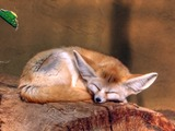 Fennec Fox cute ears Vulpes zerda sleeping