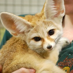 Fennec Fox cute ears Vulpes zerda zoo (2)