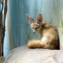 Fennec Fox cute ears Vulpes zerda zoo