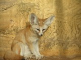 Fennec Fox cute ears ZOO Vulpes zerda