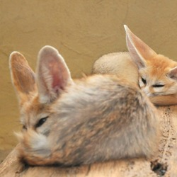 Fennec Fox cute ears baby sleeping