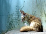 Fennec Fox cute ears big Vulpes zerda