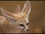 Fennec Fox cute ears cub photo
