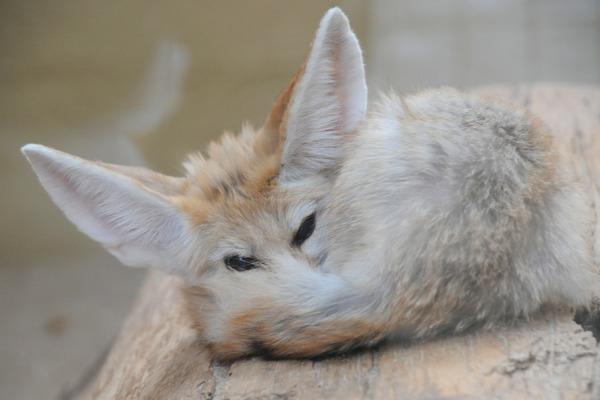 Fennec Fox cute ears cub pup wild