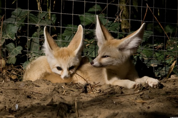 Fennec Fox cute ears cubs Vulpes zerda