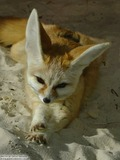 Fennec Fox cute ears curious Vulpes zerda