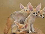 Fennec Fox cute ears curious family