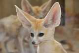 Fennec Fox Photo Gallery