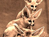 Fennec Fox cute ears edited family