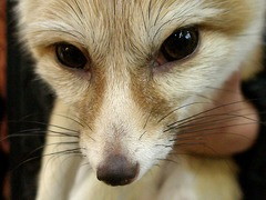 Fennec Fox cute ears face close up