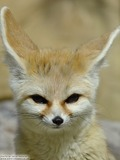 Fennec Fox cute ears face portrait