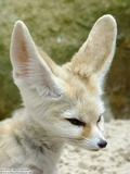 Fennec Fox cute ears face profile Vulpes zerda