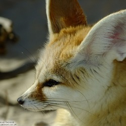 Fennec Fox cute ears face profile
