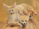 Fennec Fox cute ears family pups