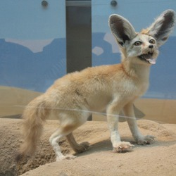 Fennec Fox cute ears happy Vulpes zerda