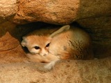 Fennec Fox cute ears hiding Vulpes zerda