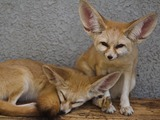 Fennec Fox cute ears kitune