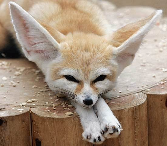 Fennec Fox cute ears lying down (2)